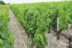 De wijnstokken staan in de grindbedden van de Gironde