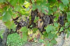 Druiven met edele rotting (pourriture noble of botrytis) voor de dessertwijn