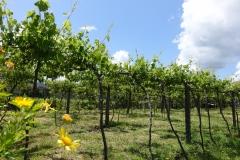 Provincie Minho, dubbel grondgebruik. Wijnbouw gecombineerd met weidegrond of landbouw.