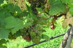 De druiven zijn er bijna klaar voor.