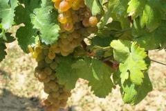 Cortese druiven voor Gavi di Gavi, de Chablis van Italië.
