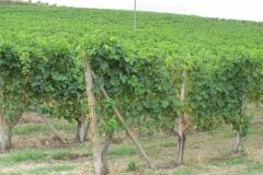 Eindeloze wijngaarden rond Aqui Terme.