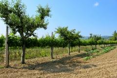Wijngaard in combinatie met (fruit)boomgaard.